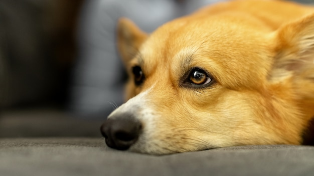 Close up head of cute ginger welsh corgi pembroke dog laying on the sofa with sad face
