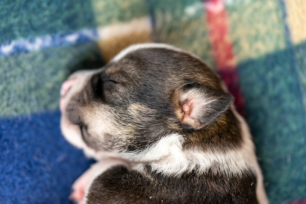Close up of the head and ear of a small two week old black and white puppy
