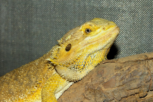 Close up head horned lizard at thailand