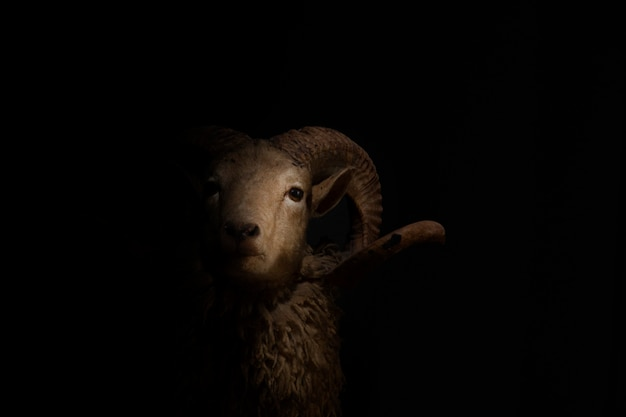 Close up of head and horns of a horned sheep on black background.
