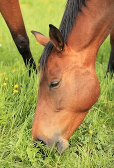 Close-up of head of horse eating grass