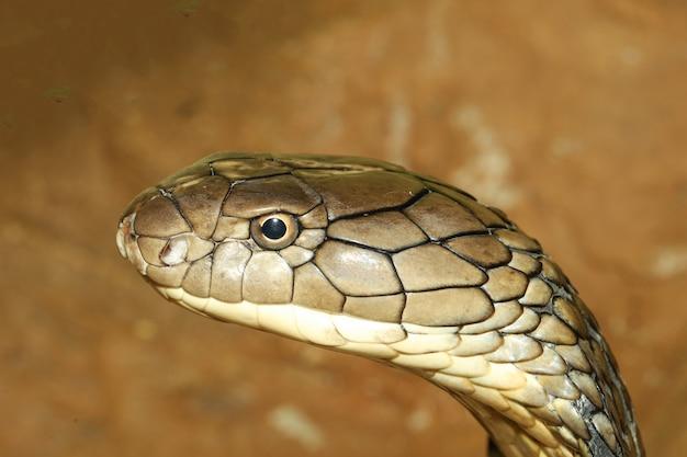 クローズアップ頭キングコブラはタイの庭で危険なヘビです。