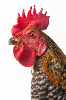 白い背景の上のコックの放し飼いの鶏の頭を閉じる