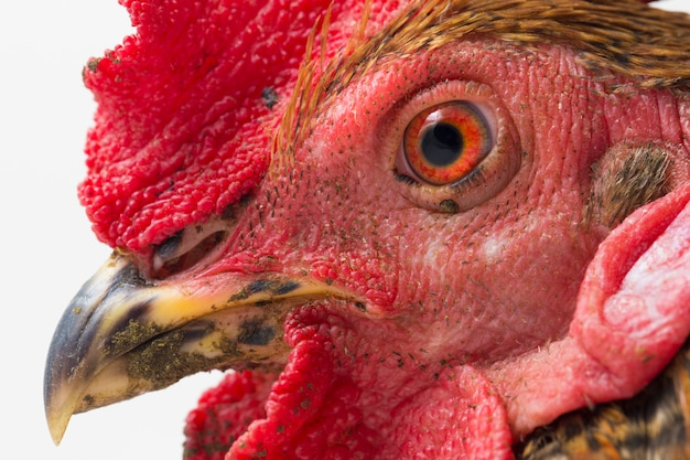 コックの放し飼いの鶏の頭を閉じる