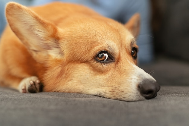 悲しい顔でソファに横たわっているかわいい生姜ウェルシュコーギーペンブローク犬の頭を閉じる