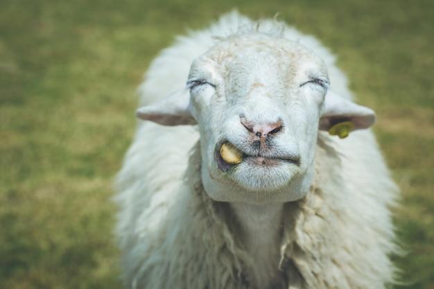 Закройте голову овец на ферме в ратчабури, таиланд