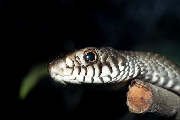 タイで棒の木に頭ネズミヘビを閉じる
