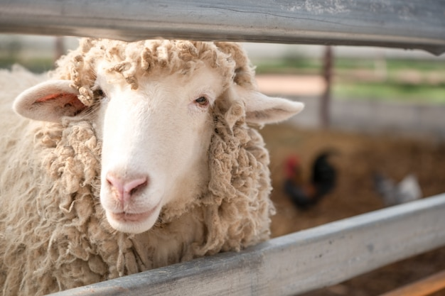 Close up head of sheep in farm