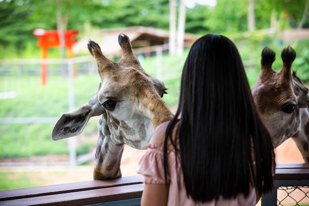 Close up head shot giraffe in the zoo and young women are feeding foreground