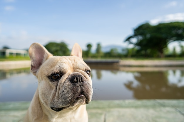 Close up head shot picture of french bulldog against nature summer background.