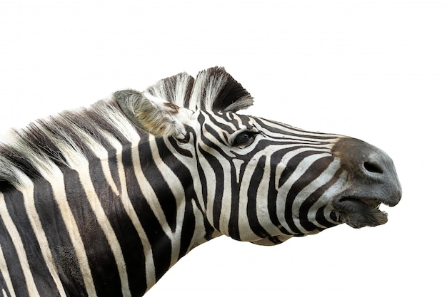 Close up head zebra on white