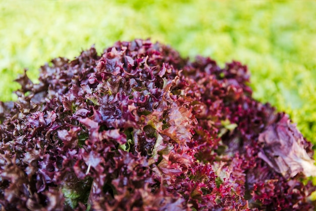 Close-up of healthy raw red kale in market