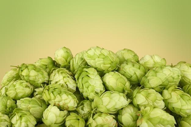 Закройте кучу свежего зеленого хмеля, ингредиента для пива или лечебных трав, на зеленом и бежевом фоне с копией пространства, вид сбоку под низким углом