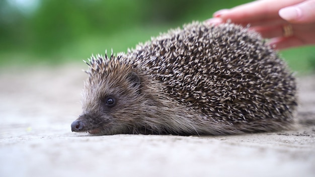 Close up hedgehog getting petted