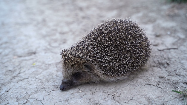 Close up hedgehog outdoors