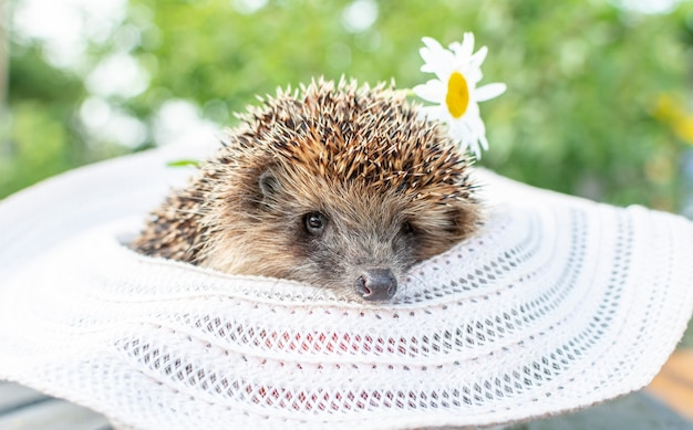 Close up a hedgehog on a wooden table in a straw hat next to daisies on a green background