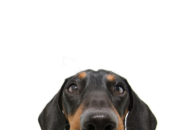 Close up hide dachshund dog puppy