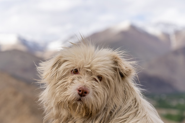 Close up homeless dog in leh ladakh of north of india