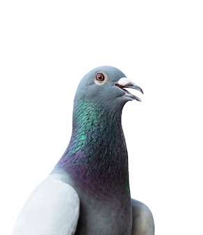 Close up of homing pigeon