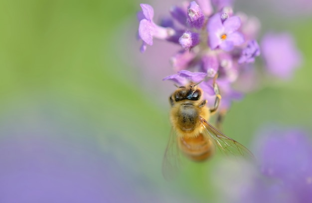 Close up of a honey bee on a lavender flower