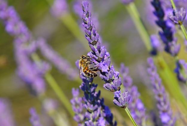 보라색 꽃 라벤더 꽃에 꿀벌을 닫습니다, 낮은 각도 측면 보기