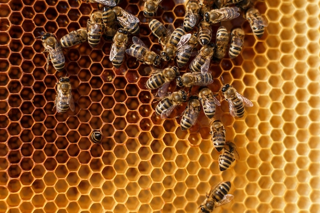 Close up honeycomb in wooden frame with bees on it.