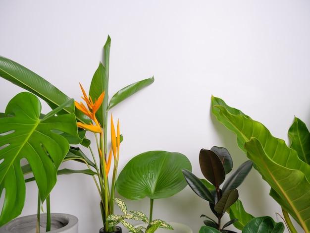 흰색 방, 꽃 몬스테라, 필로덴드론 셀룸, 아로이드 야자, 피쿠스 리라타에 있는 집 식물을 닫습니다