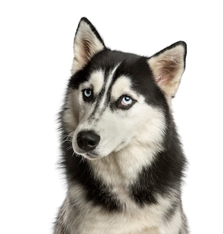 Close-up of a husky in front of a white wall