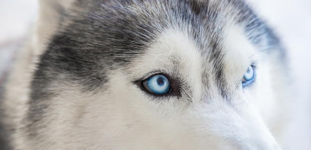Close-up of a husky's eyes