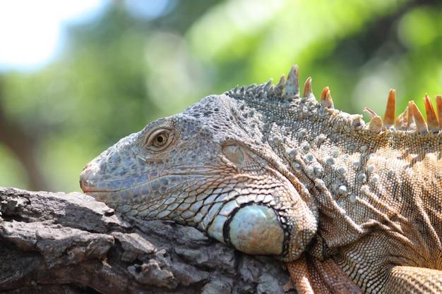Close up iguana on dry wood on green nature
