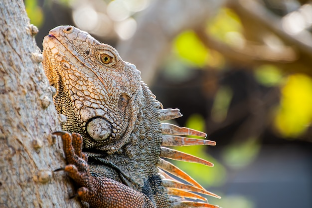 Close-up of an iguana  in the forest