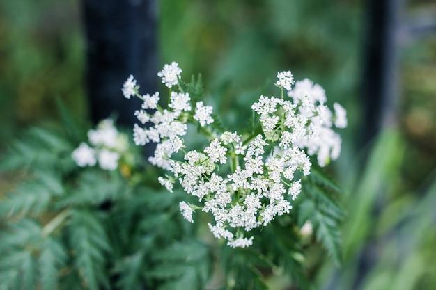 Закройте изображение коровьей петрушки маленьких белых цветков. цветущий дикий кервель