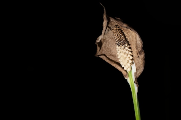 Close-up image, peace lily withering and dry with black background.