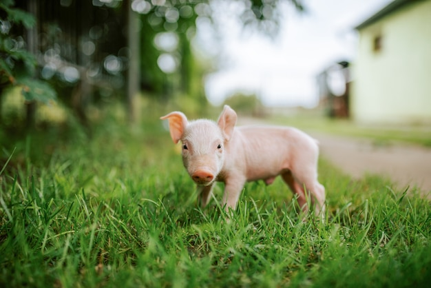 Close-up image of small piglet