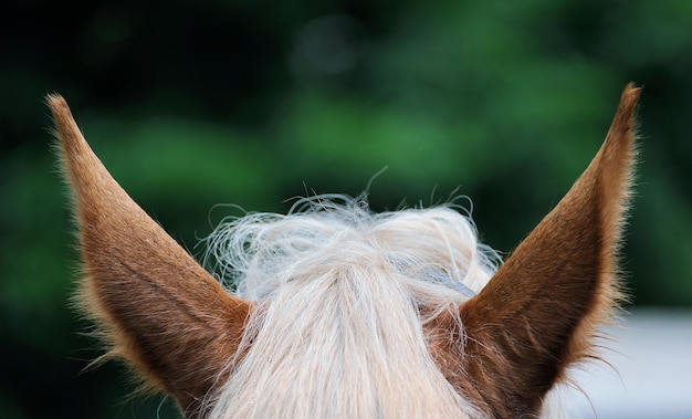 A close up images of the ears of a bay horse.