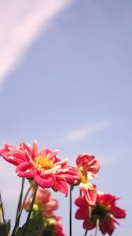 Крупным планом изображения красных цветов георгина и ясного голубого неба в северной части провинции фурано