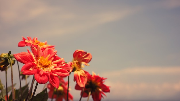Close up images of red color dahlia flowers and clear light blue sky in furano province northen part