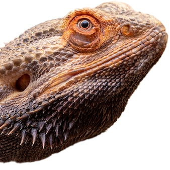 白い背景のひげを生やしたドラゴン(pogona sp)でクローズアップ。