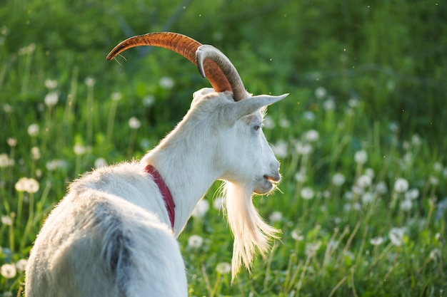 Close up of an inquisitive goat. close-up of a white goat