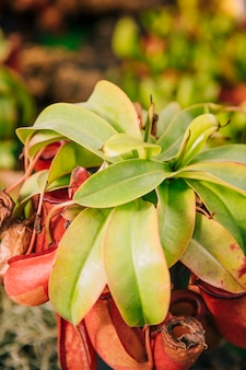 Close-up of insectivorous plant nepenthes