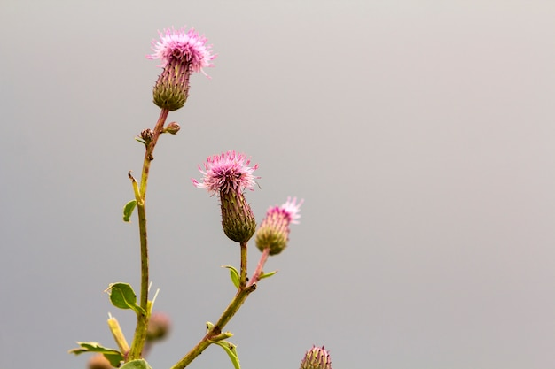 Close-up isolated beautiful pink purple spear thistle plant lit by morning sun blooming on high stems on blurred foggy soft colorful background. beauty of nature, weeds and agriculture concept.