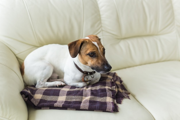 Close up jack russell terrier dog sleepy muzzle portrait on the plaid.