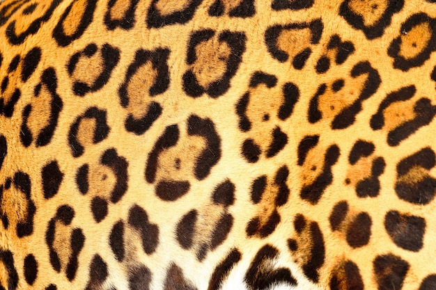 Close up on jaguar animal print skin