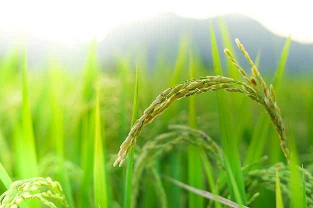 Close up japanese rice field