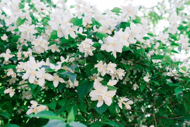 Close up of jasmine flowers in a garden