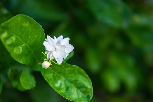 庭のジャスミンの花を閉じる