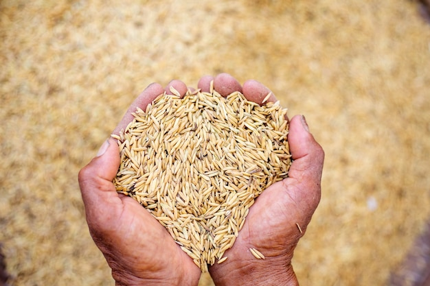 Close up of jasmine rice seed in farmer hand on paddy background