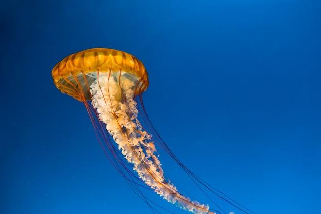 Close up of jellyfish in an aquarium under bright blue lights.