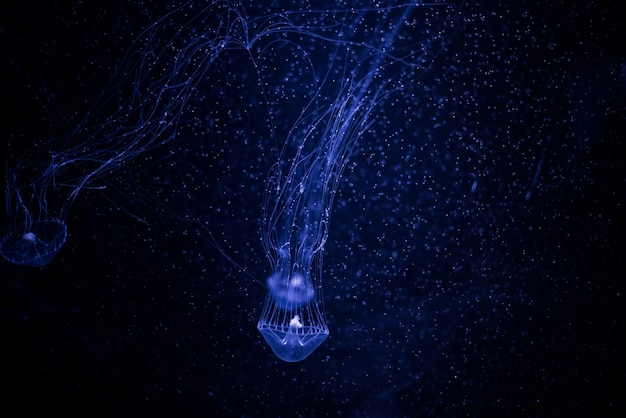 Close-up jellyfish, medusa in fish tank with neon light.