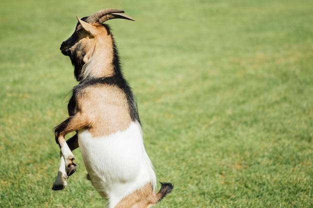 牧草地にクローズアップジャンプファームヤギ